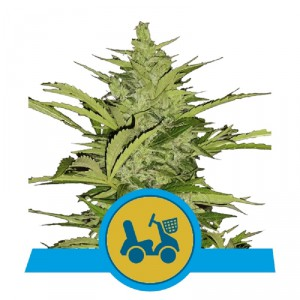 AUTO Fast Eddy CBD Royal Queen Seeds