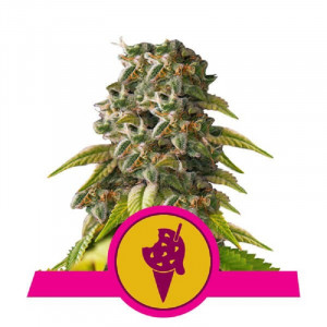 Cookies Gelato Royal Queen Seeds FEMM.