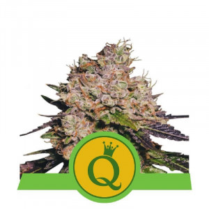 AUTO Purple Queen Royal Queen Seeds