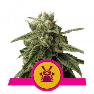 Shogun Royal Queen Seeds FEMM.