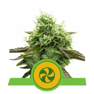 AUTO Sweet ZZ Royal Queen Seeds